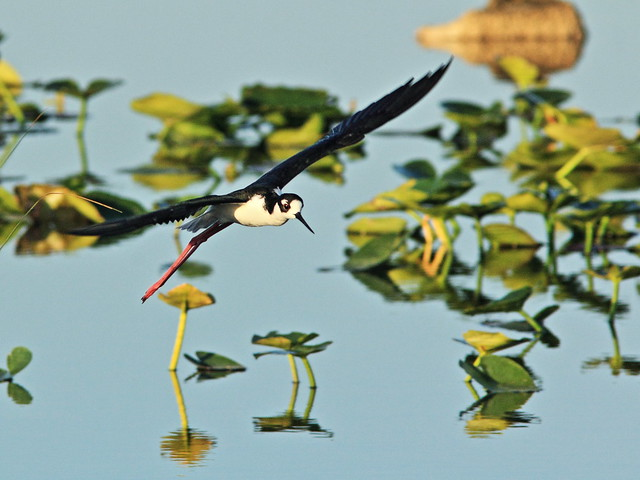 Black-necked Stilt in flight 5-20150315