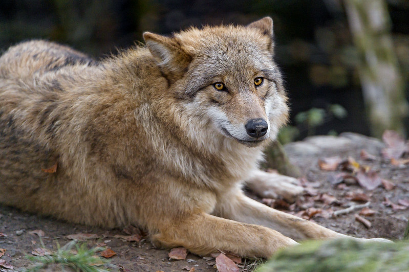 Pretty lying wolf