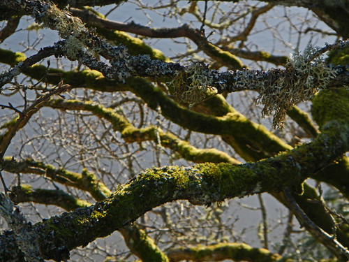 Garry Oak tree with moss and lichen