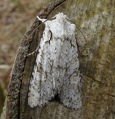 Grey Shoulder-knot Lithophane ornitopus Tophill Low NR, East Yorkshire April 2015
