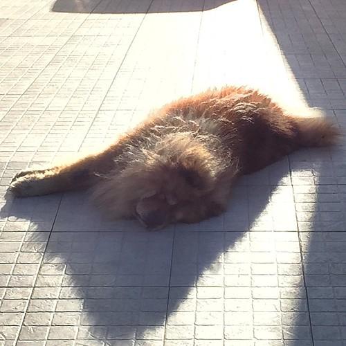 Damián …vagancia total bajo el sol !! 😂 #chow #perro #cão #dog #damian #portugal #oliveiradobairro #sol #sun #afternoon