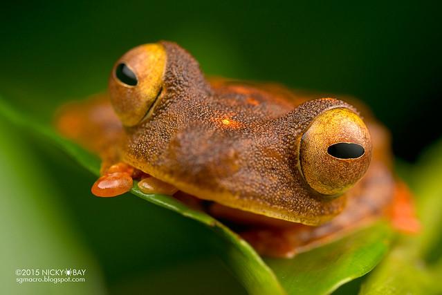 Harlequin flying frog (Rhacophorus pardalis) - DSC_2862