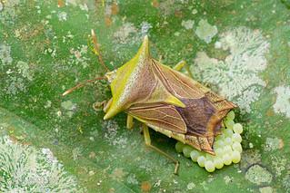 Giant shield bug (Pygoplatys sp.) - DSC_3148