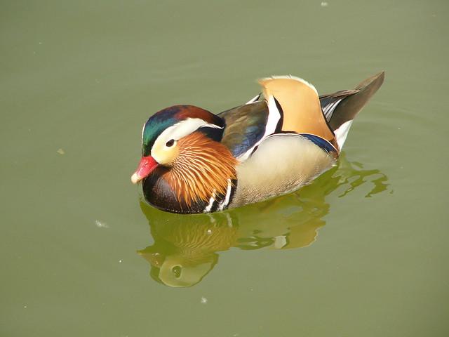 R - Mandarin duck/u9d1bu9d26-P1360180