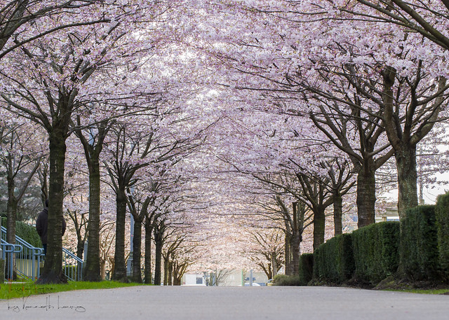 Cherry Blossoms 2015