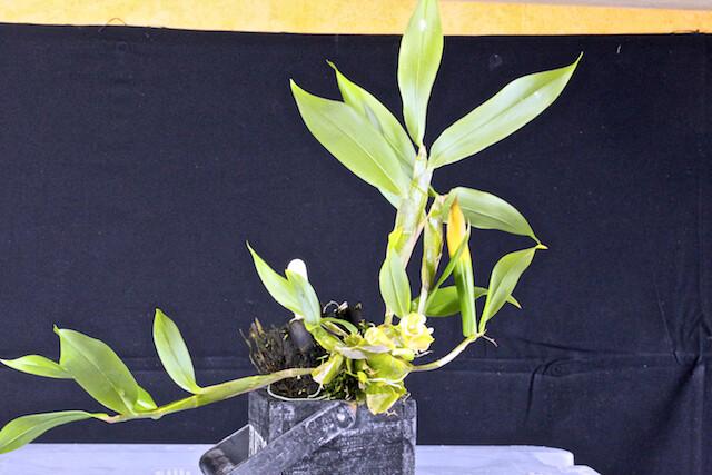 Dendrobium lamellatum 16810991832_b784eec60a_z