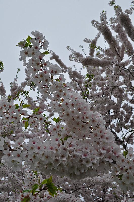 Prunus x yedonensis (1)