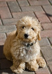puppy(0.0), cavachon(0.0), norfolk terrier(0.0), lakeland terrier(0.0), irish soft-coated wheaten terrier(0.0), toy poodle(1.0), miniature poodle(1.0), dog breed(1.0), animal(1.0), dog(1.0), schnoodle(1.0), petit basset griffon vendã©en(1.0), pet(1.0), glen of imaal terrier(1.0), poodle crossbreed(1.0), morkie(1.0), dandie dinmont terrier(1.0), cockapoo(1.0), goldendoodle(1.0), cavapoo(1.0), carnivoran(1.0), terrier(1.0),