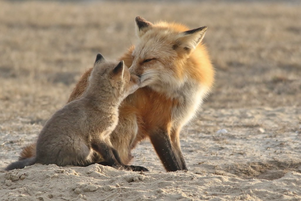 Fox kits at the beach