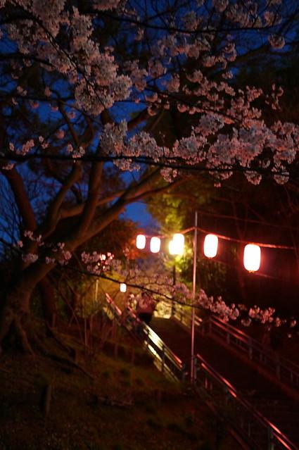 Chiba sakura festival 01