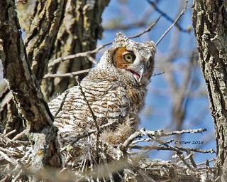 200 great horned owl