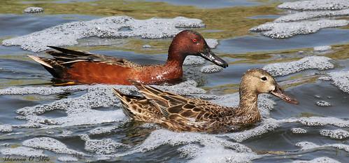 nature water wildlife nevada ducks henderson waterfowl cinnamonteal canoneosrebelt2i shannonroseoshea thecityofhendersonbirdviewingpreserve