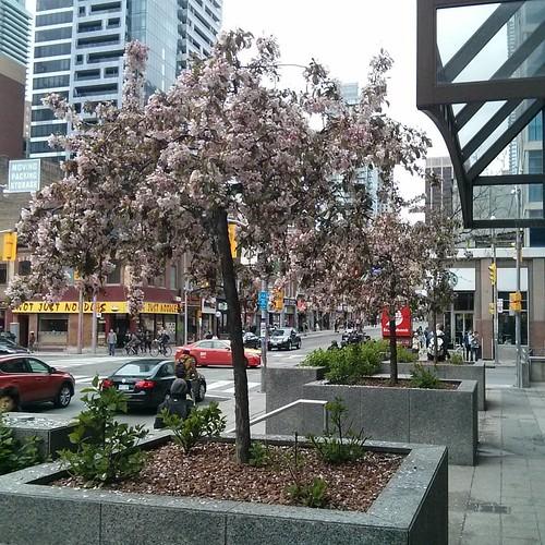 Sakura in front of Tim Hortons, 1 #toronto #yongestreet #wellesleystreet #timhortons #cherryblossom #sakura