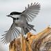 Chickadee by Darlene348