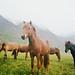 Icelandic Horses by Kim Smith-Miller
