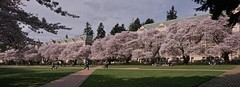 Cherry Blossoms, UW Quad, March 2015, (7)