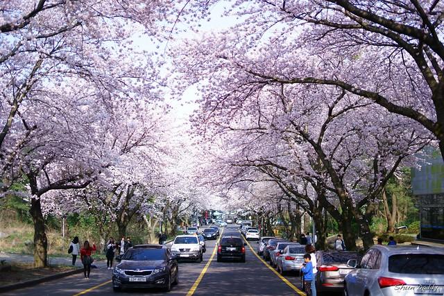 Sakura in Jeju, Korea