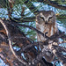 Northern Saw-whet Owl, Aegolius acadicus by ashleytisme