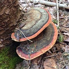 medicinal mushroom, fungus, lingzhi mushroom, trunk,