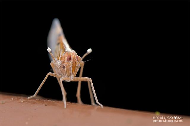 Planthopper (Fulgoromorpha) - DSC_4220