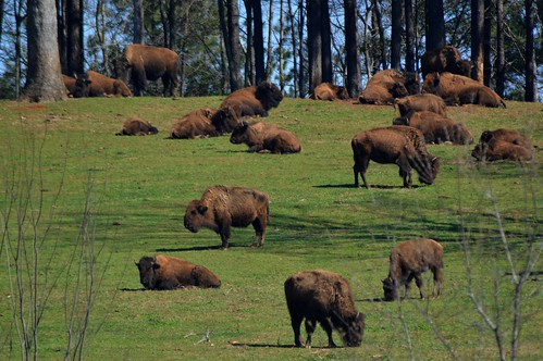 buffalo herd grass cowbirds ncmountainman nikon d3200 phixe trees sky buffalochips bison pines pinetrees cow bull calf americanbison horns dof grazing carolina lowresolutionversion