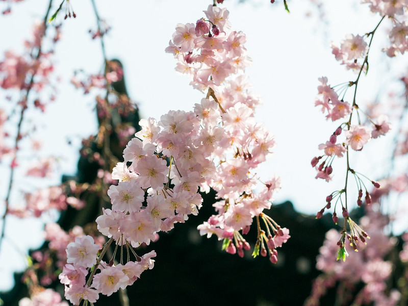 Cherry Blossoms in Yanaka District