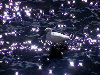 Garceta común en un río estrellado