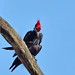 Pileated Woodpecker by mikep3460