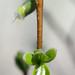 Dirca palustris by Eric Hunt.