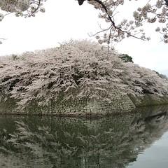 more sakura @ hikone castle #sakura #hikone #shiga #桜#彦根 #滋賀