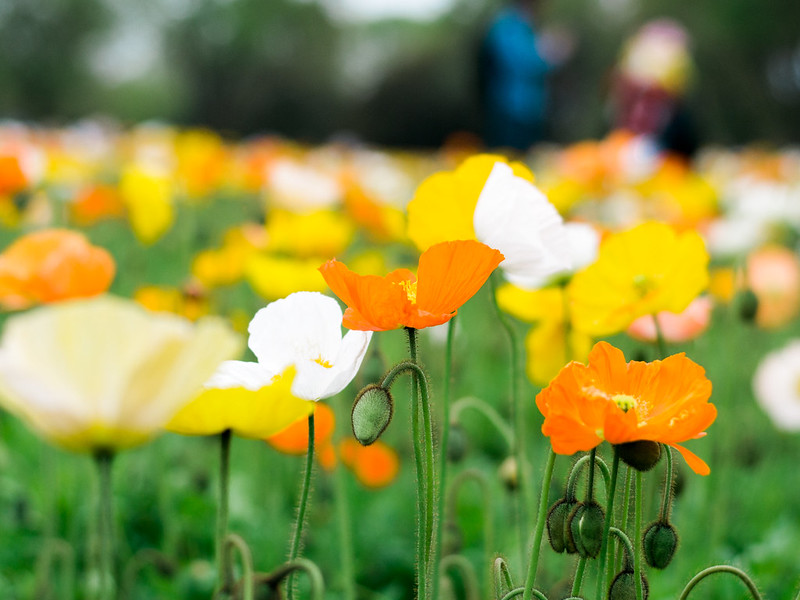 Japanese Poppies in Showa Kinen Park
