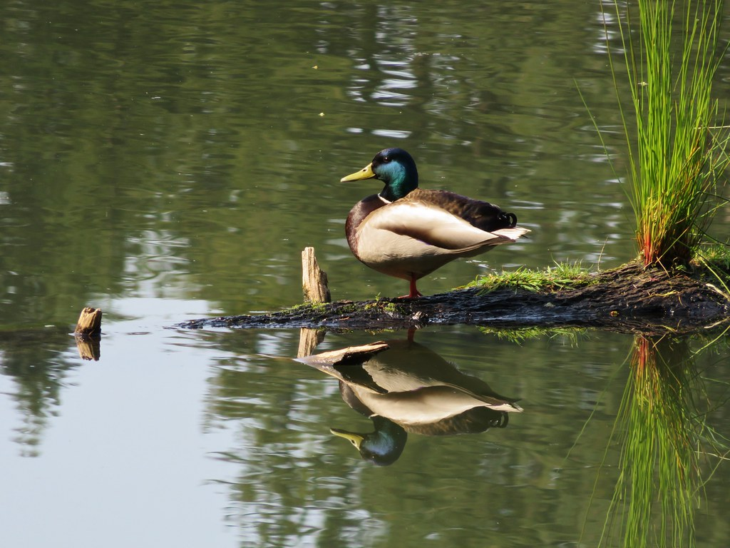 Mallard at Lacamas Lake