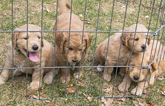 broholmer(0.0), tosa(0.0), street dog(0.0), shar pei(0.0), dog breed(1.0), animal(1.0), puppy(1.0), dog(1.0), pet(1.0), mammal(1.0), animal shelter(1.0),