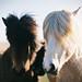 Icelandic horse by Bazzerio