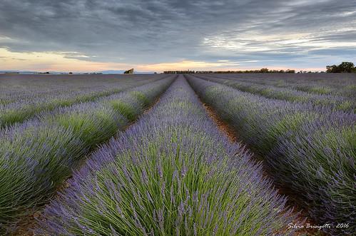 flowers sunset france colors field landscape nikon tramonto lavender provenza lavanda valensole d7000