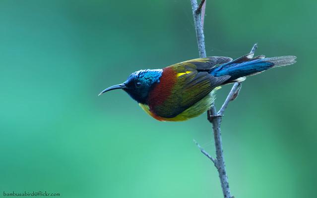 นกกินปลีหางยาวเขียว / Green-tailed Sunbird / Aethopyga nipalensis angkanensis