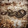 #snake #Thamnophis #natureisbadass