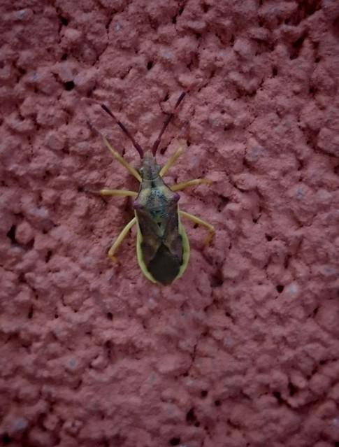 Gonocerus juniperi - boróka-karimáspoloska