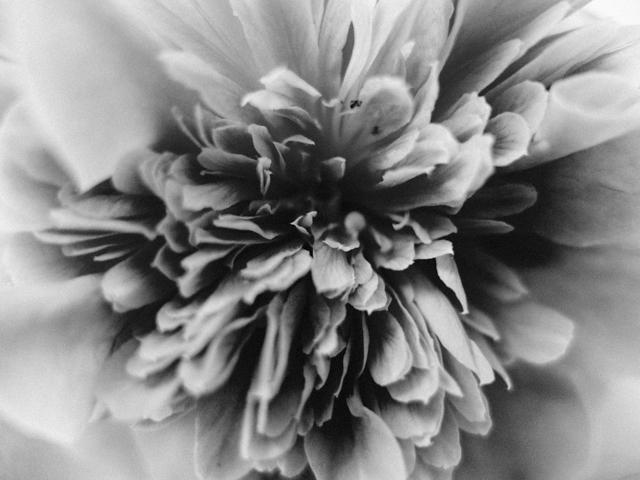 close up black and white photo of camelia