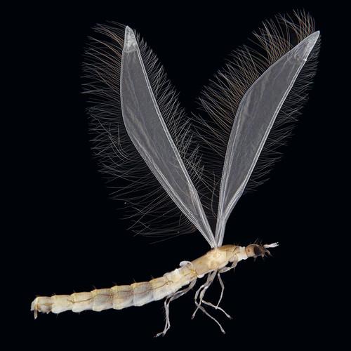 Nymphomyiidae