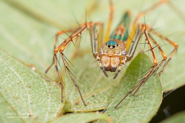 Lynx spider (Hamadruas) - DSC_4327