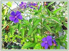 Our potted Tibouchina urvilleana or T.semidecandra (Princess Flower, Glory Bush, Purple Glory Tree), July 8 2014