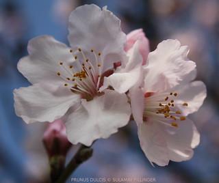 Prunus Dulcis - Rosa Bittermandel