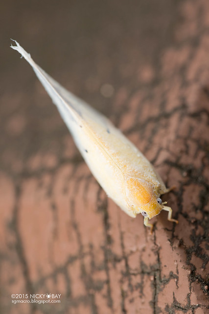 Flatid planthopper (Flatidae) - DSC_5377