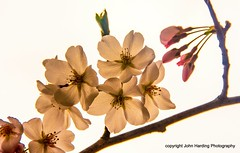 A Branch of Cherry Blooms