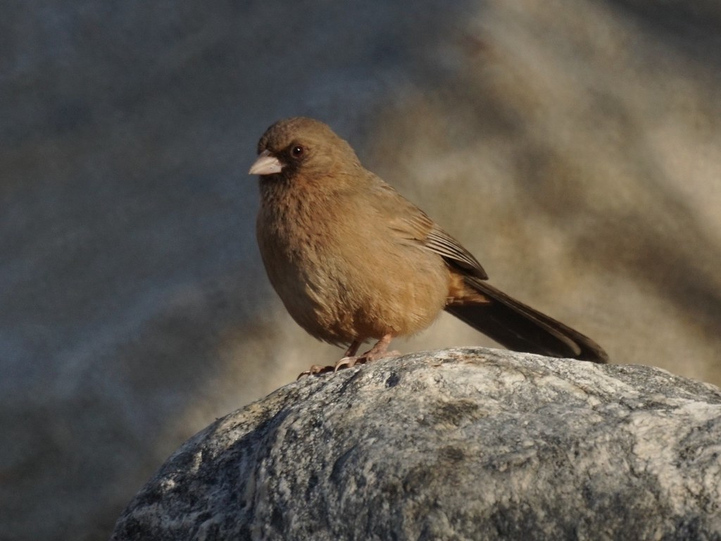 Image result for Abert's Towhee""