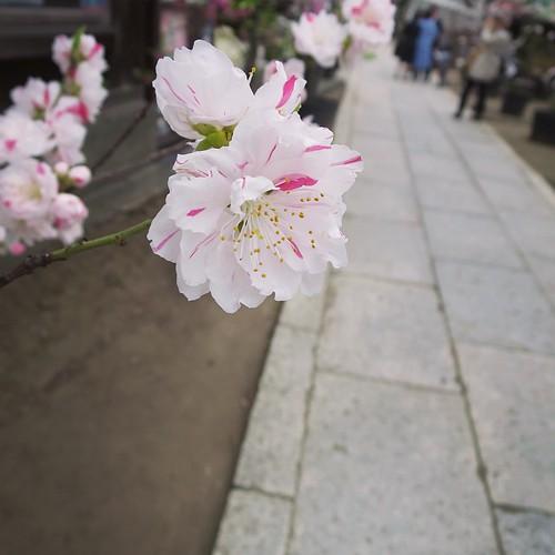 桜じゃないよ。桃まつり。