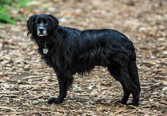 puppy(0.0), curly coated retriever(0.0), stabyhoun(0.0), blue picardy spaniel(0.0), german spaniel(0.0), newfoundland(0.0), dog breed(1.0), animal(1.0), dog(1.0), boykin spaniel(1.0), pet(1.0), retriever(1.0), flat-coated retriever(1.0), carnivoran(1.0), black(1.0),