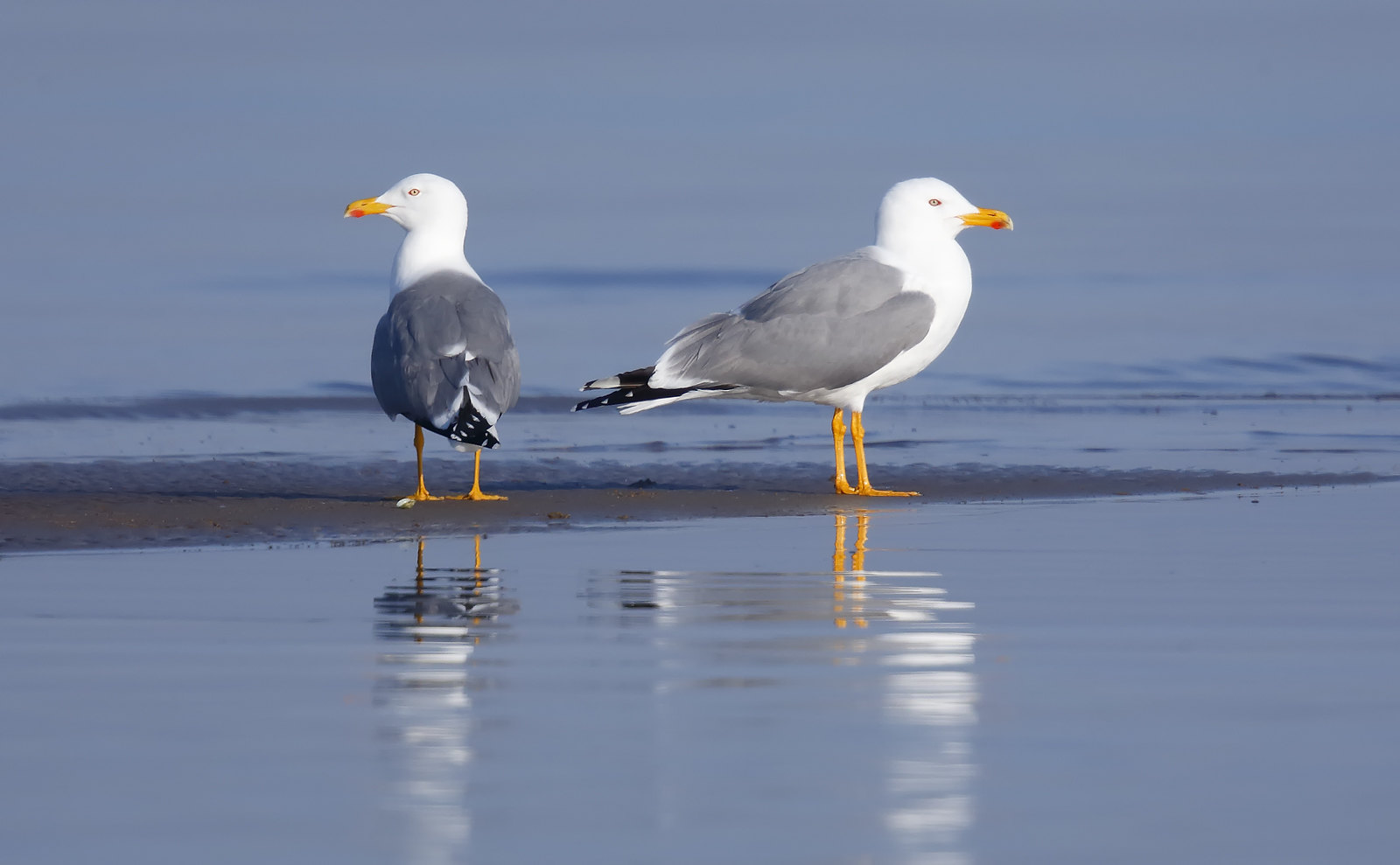 Yellow Legged Gull