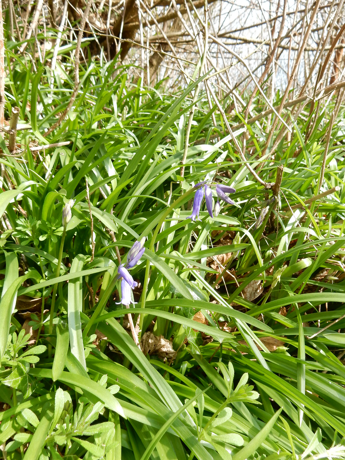 The year's first bluebell Sevenoaks Circular. I claim the prize. What is the prize?